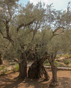 Studie - Gethsemane